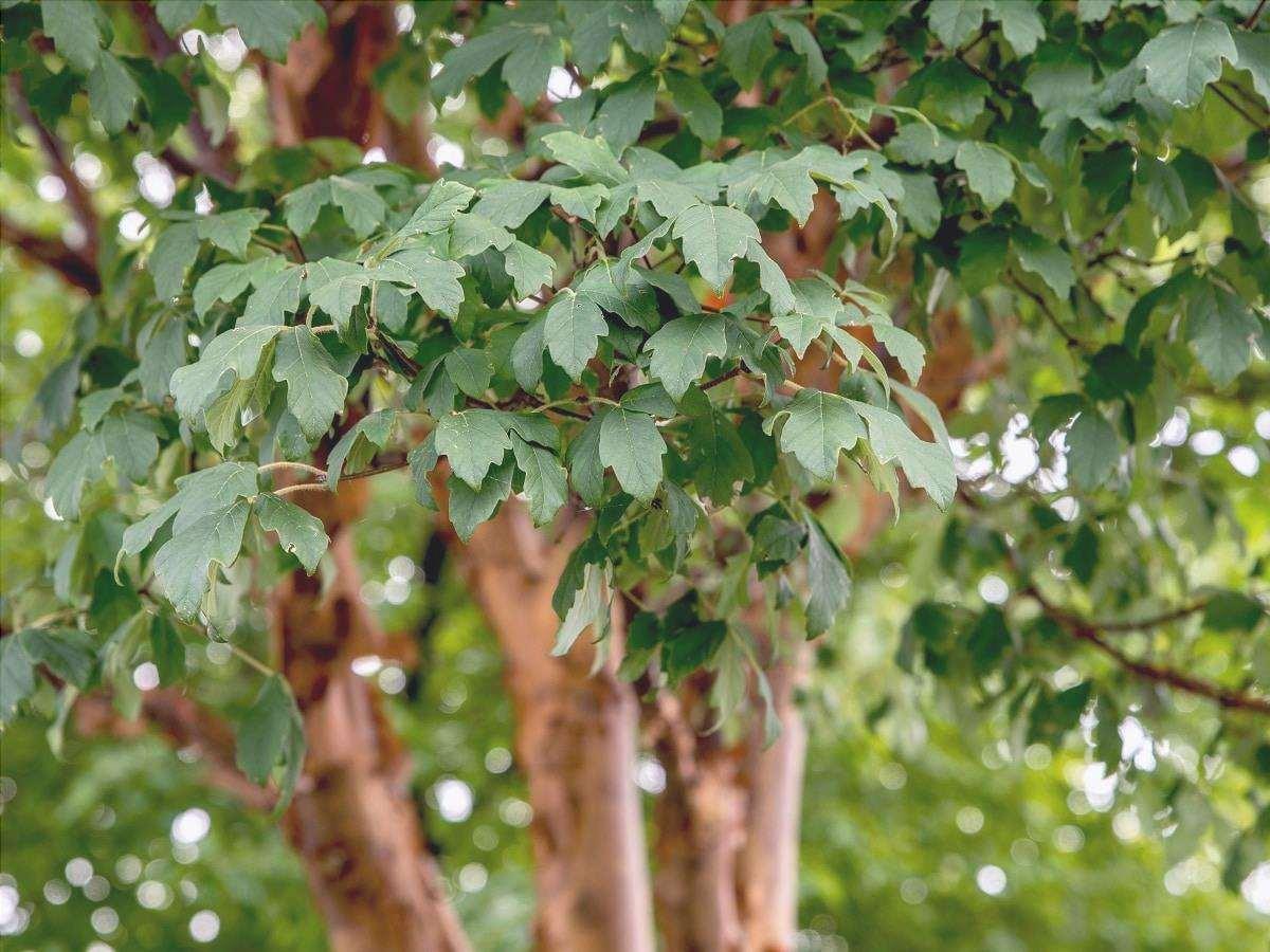 foglie d'acero di carta