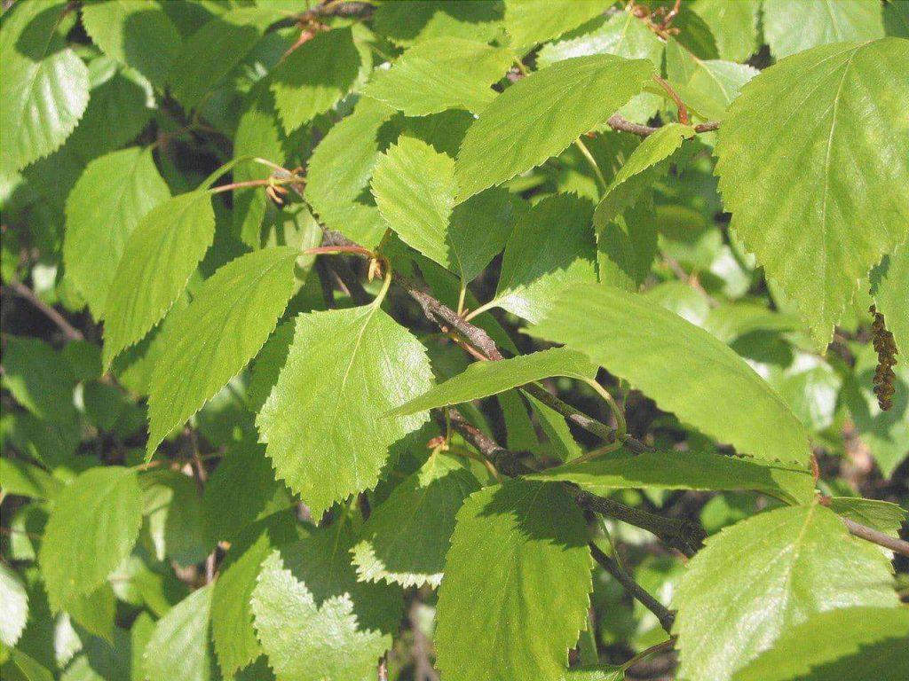 hojas del betula pubescens