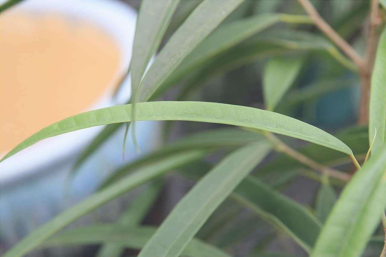 Le foglie del Ficus Alii sono lineari.