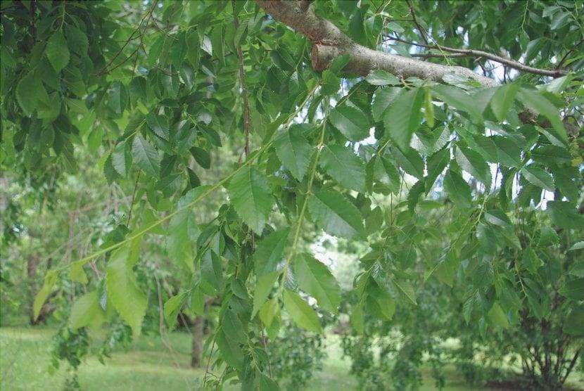 Le foglie dell'olmo cinese sono piccole
