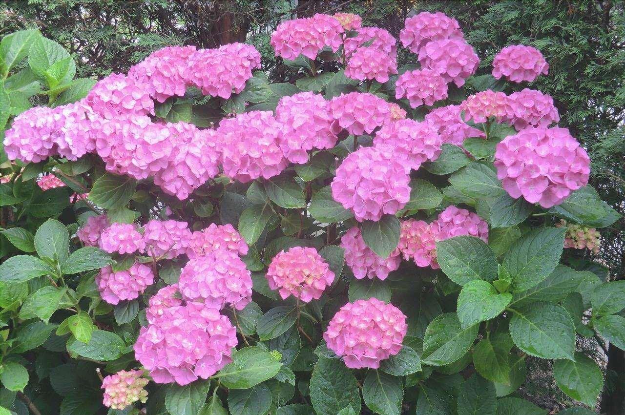 L'ortensia è un arbusto deciduo.
