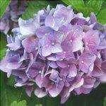 Le ortensie sono arbusti che possono essere tenuti in vaso.
