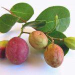 icaco fruta