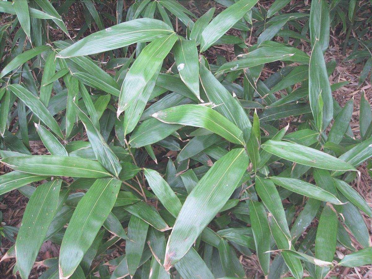 È possibile fare una foresta di bambù con Indocalamus