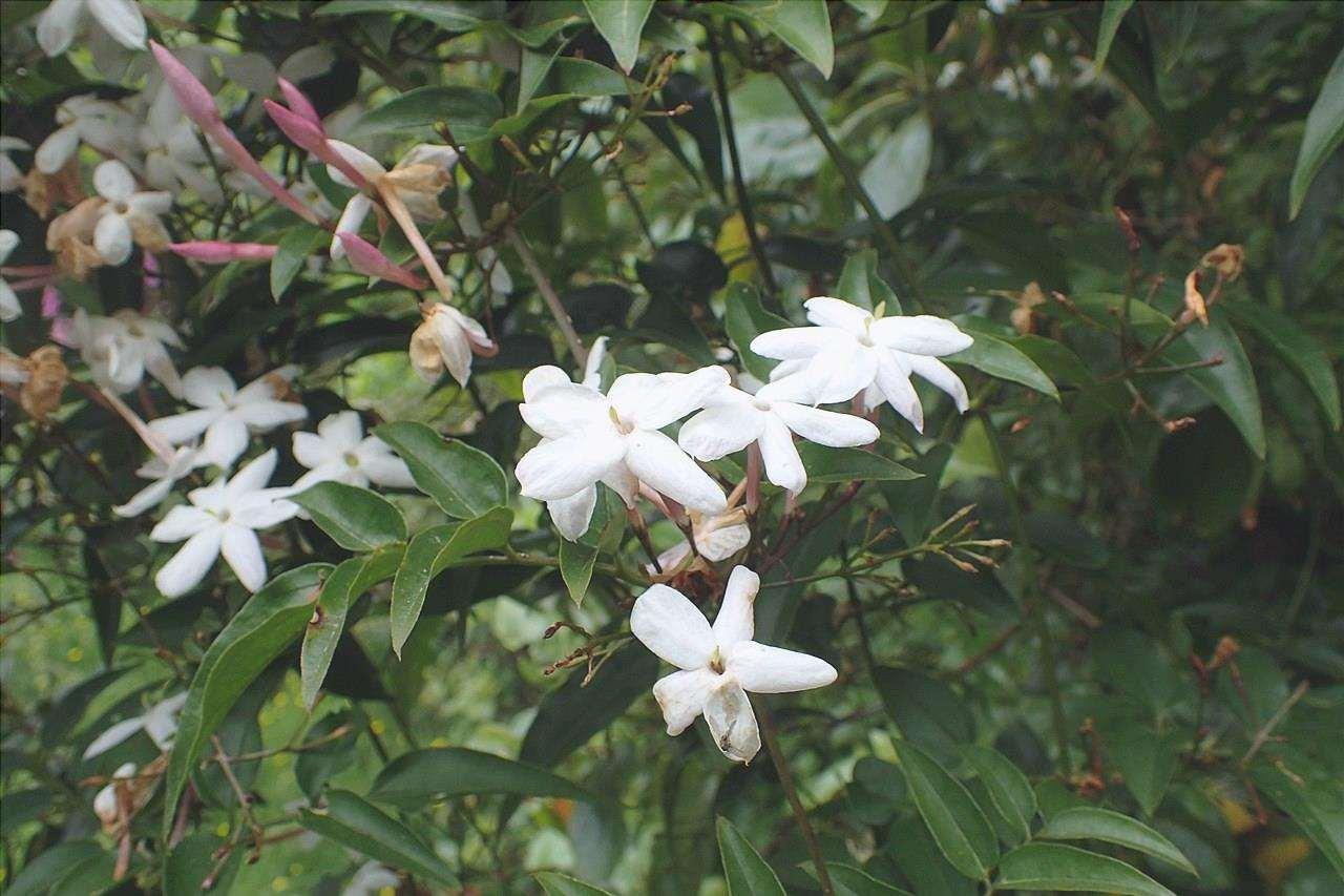 Il gelsomino cinese è una pianta sempreverde.
