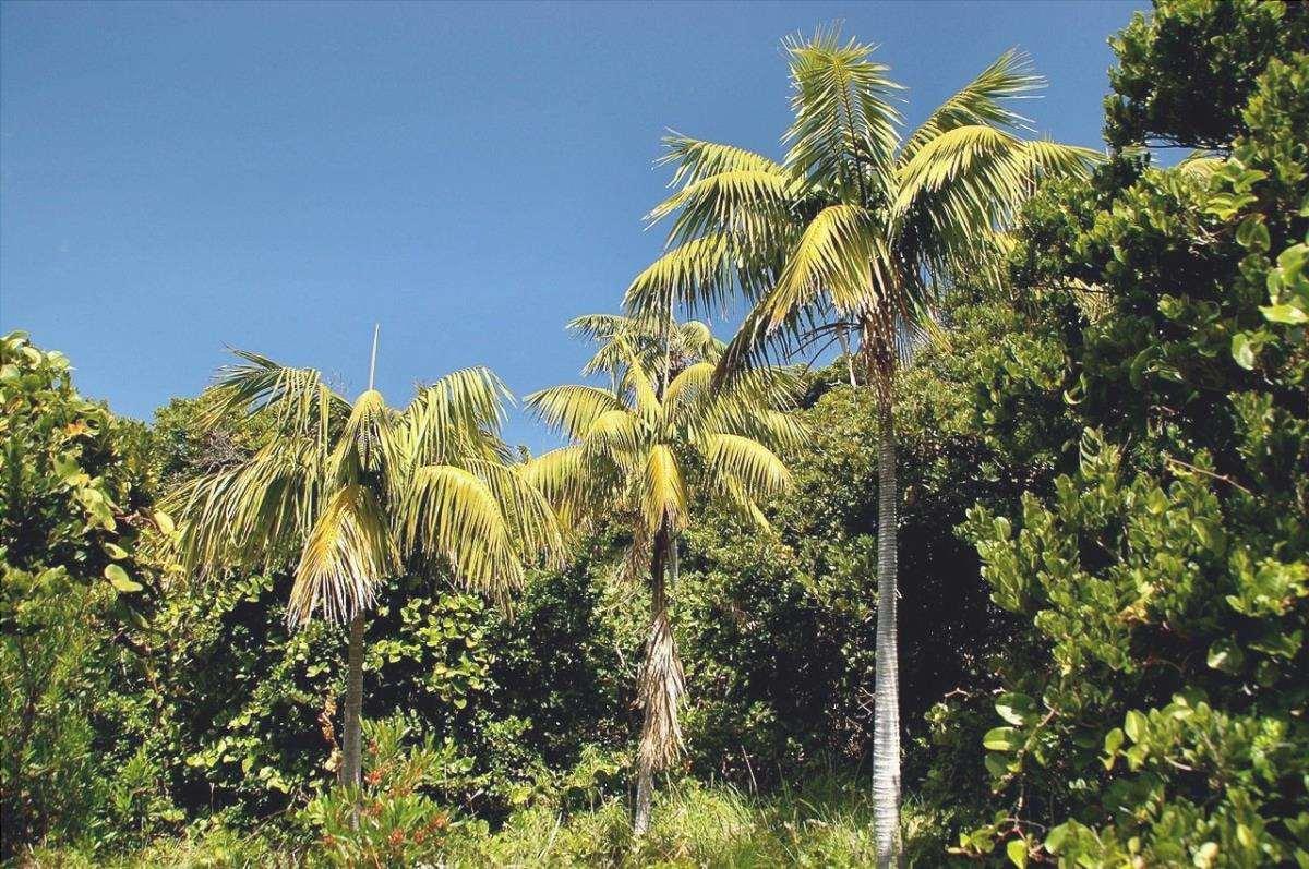 La kentia è una palma coltivata in casa.