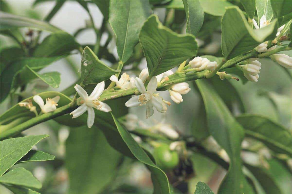 Il kumquat è un albero resistente