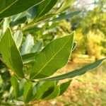 L'alloro è un albero sempreverde