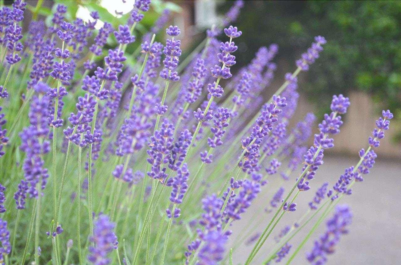 La lavanda è un arbusto fiorito lilla, ideale per la piscina.