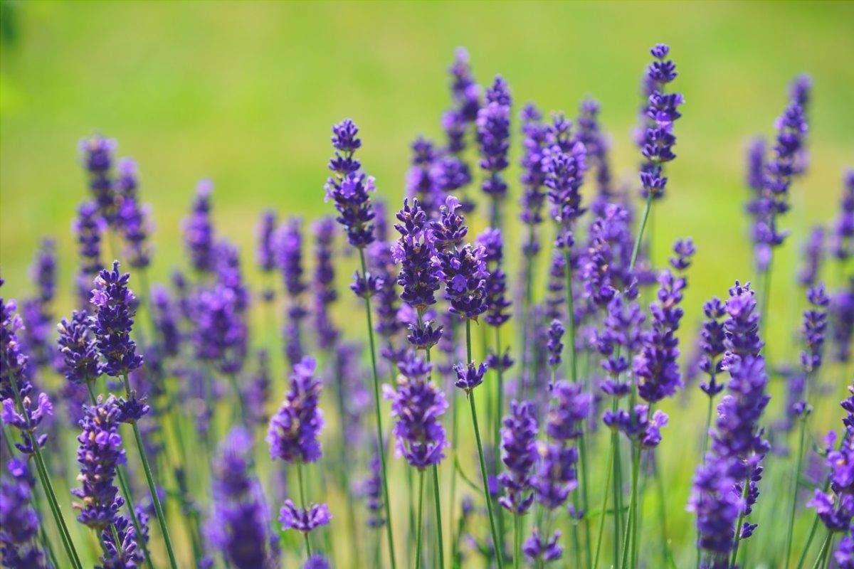 La lavanda è un arbusto che produce fiori in primavera ed estate, ideale per l'esterno.
