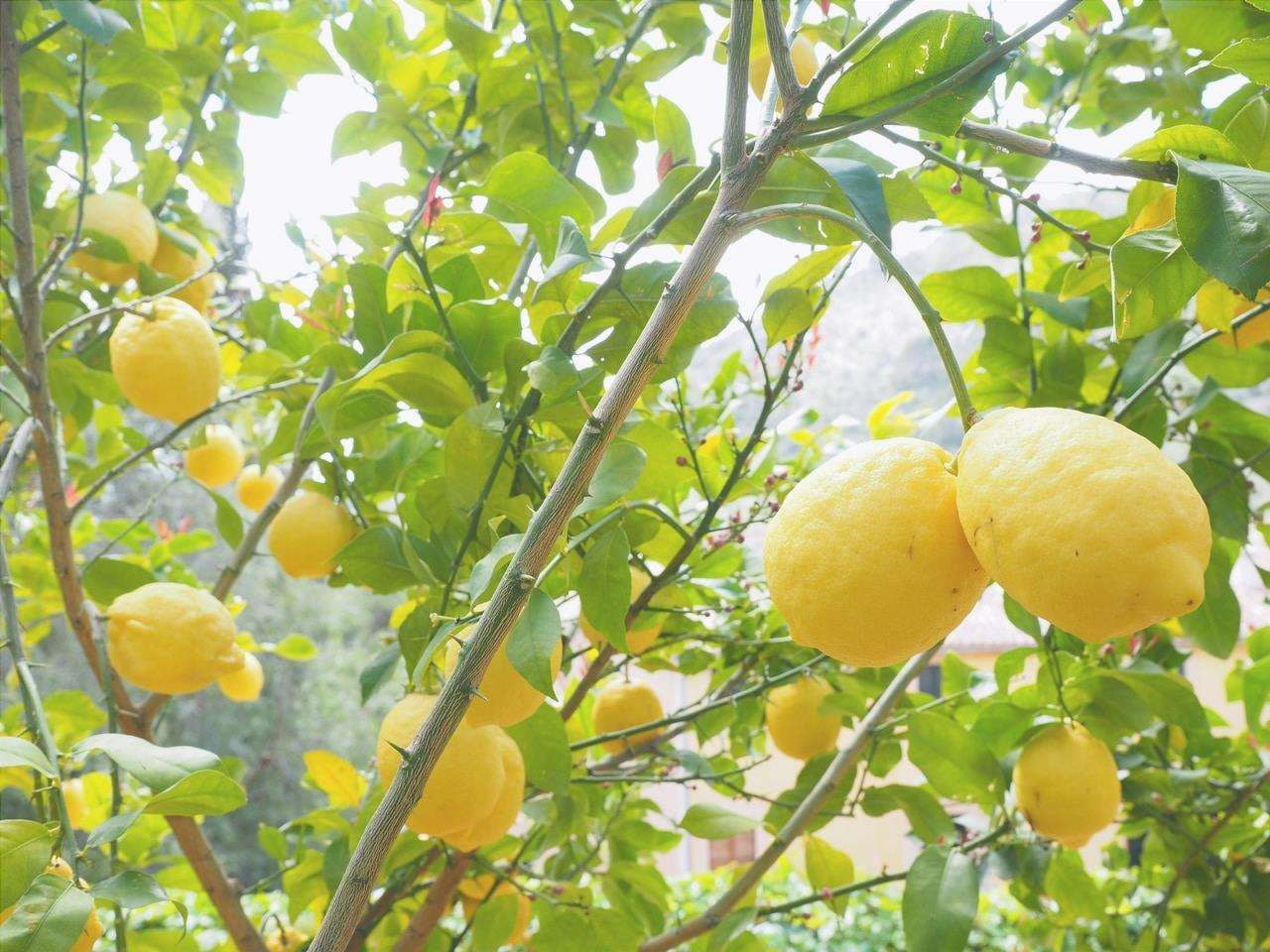 Il limone è un albero da frutto sempreverde.