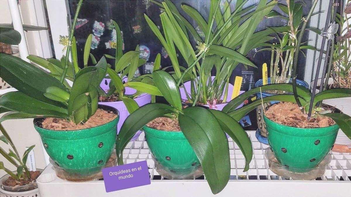 Il trapianto di orchidee è fatto con cura