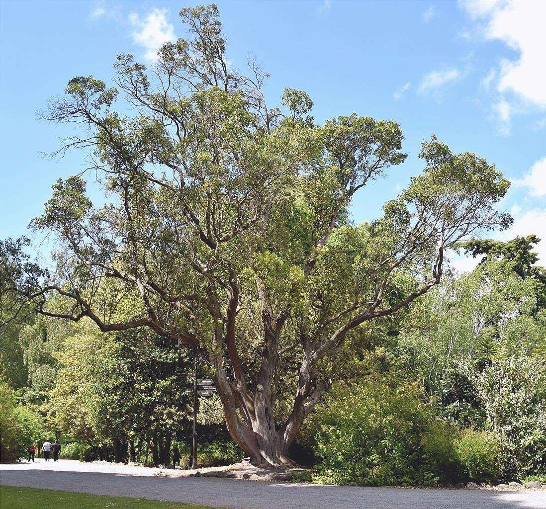 Il corbezzolo è un albero sempreverde.