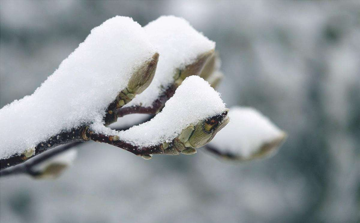 L'albero di magnolia ha sentito la neve