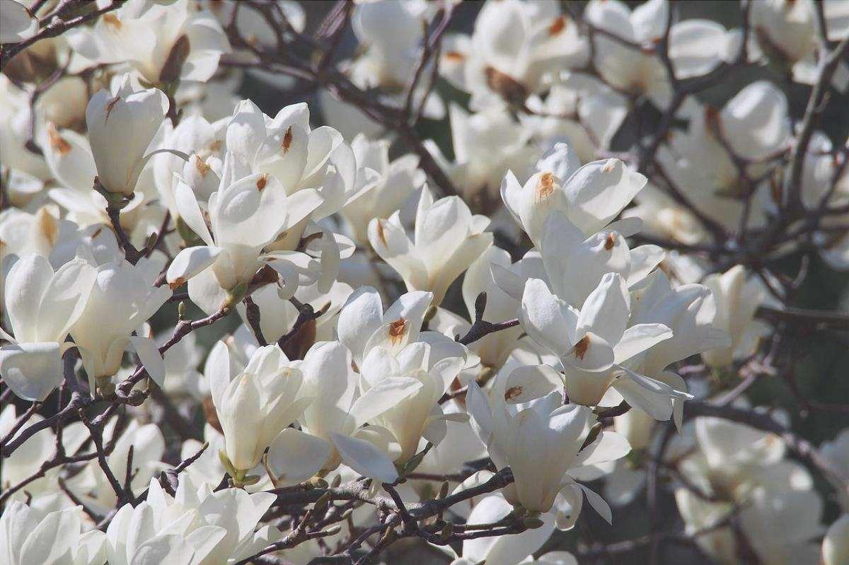 La Magnolia denudata è un albero con fiori bianchi.