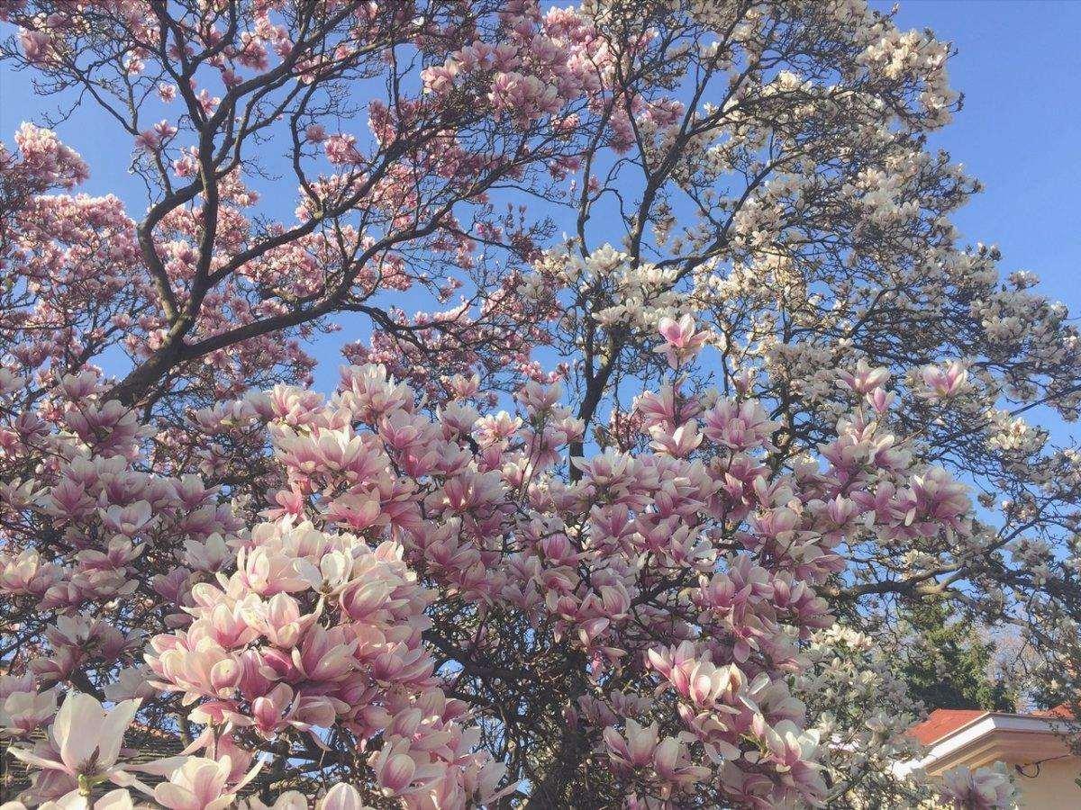 La magnolia è un albero a crescita lenta
