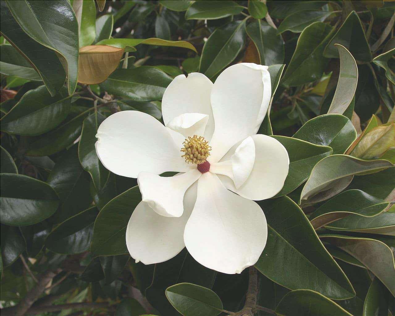 La Magnolia grandiflora è un albero che produce fiori ed è ideale per la privacy.