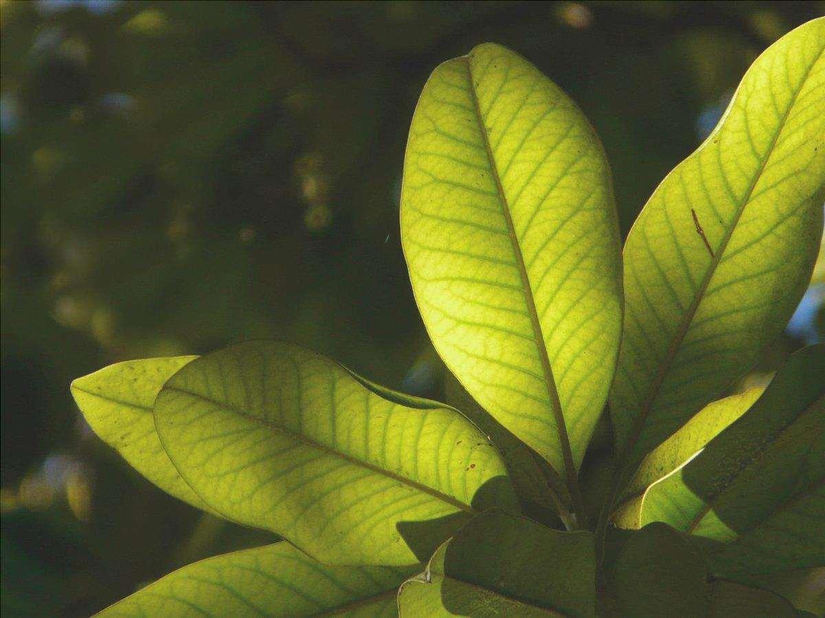 Gli alberi sempreverdi sono piante sempreverdi.
