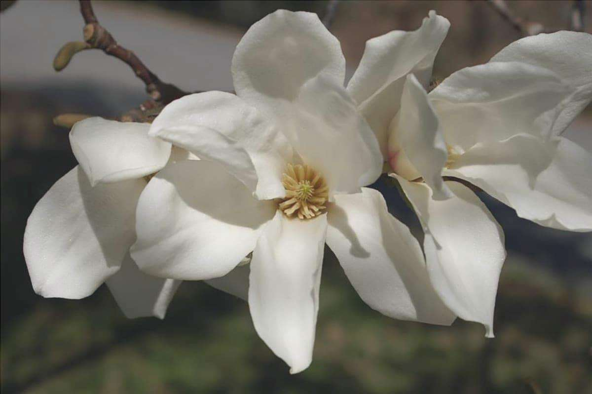 La Magnolia kobus produce fiori bianchi