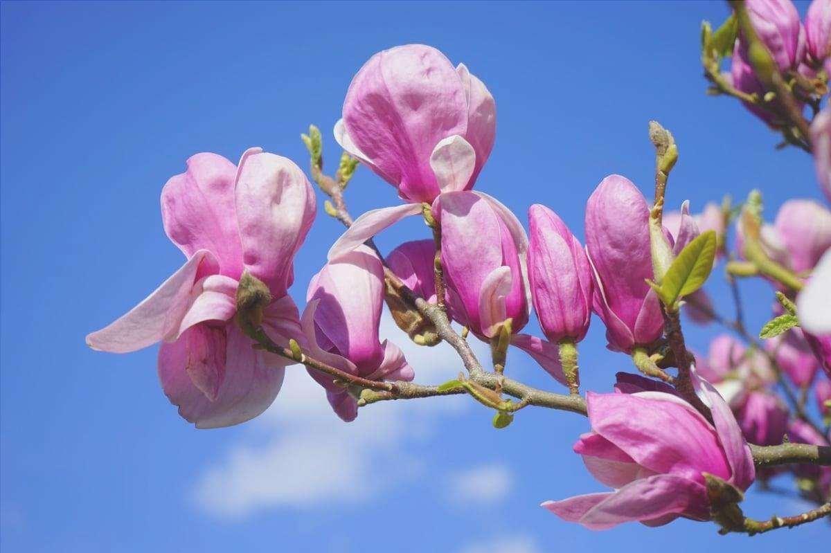 La Magnolia liliiflora è un tipo di albero di magnolia.