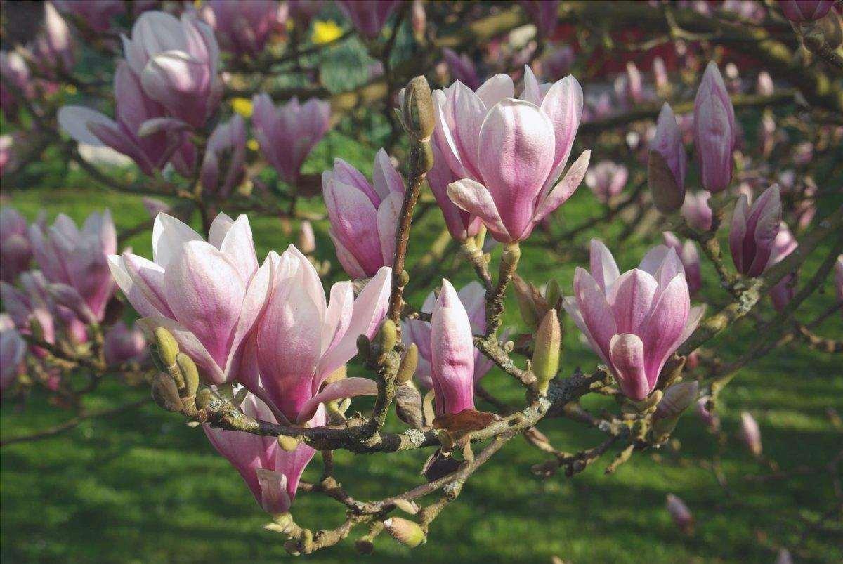 Magnolia x soulangeana, una varietà di magnolia con fiori rosa