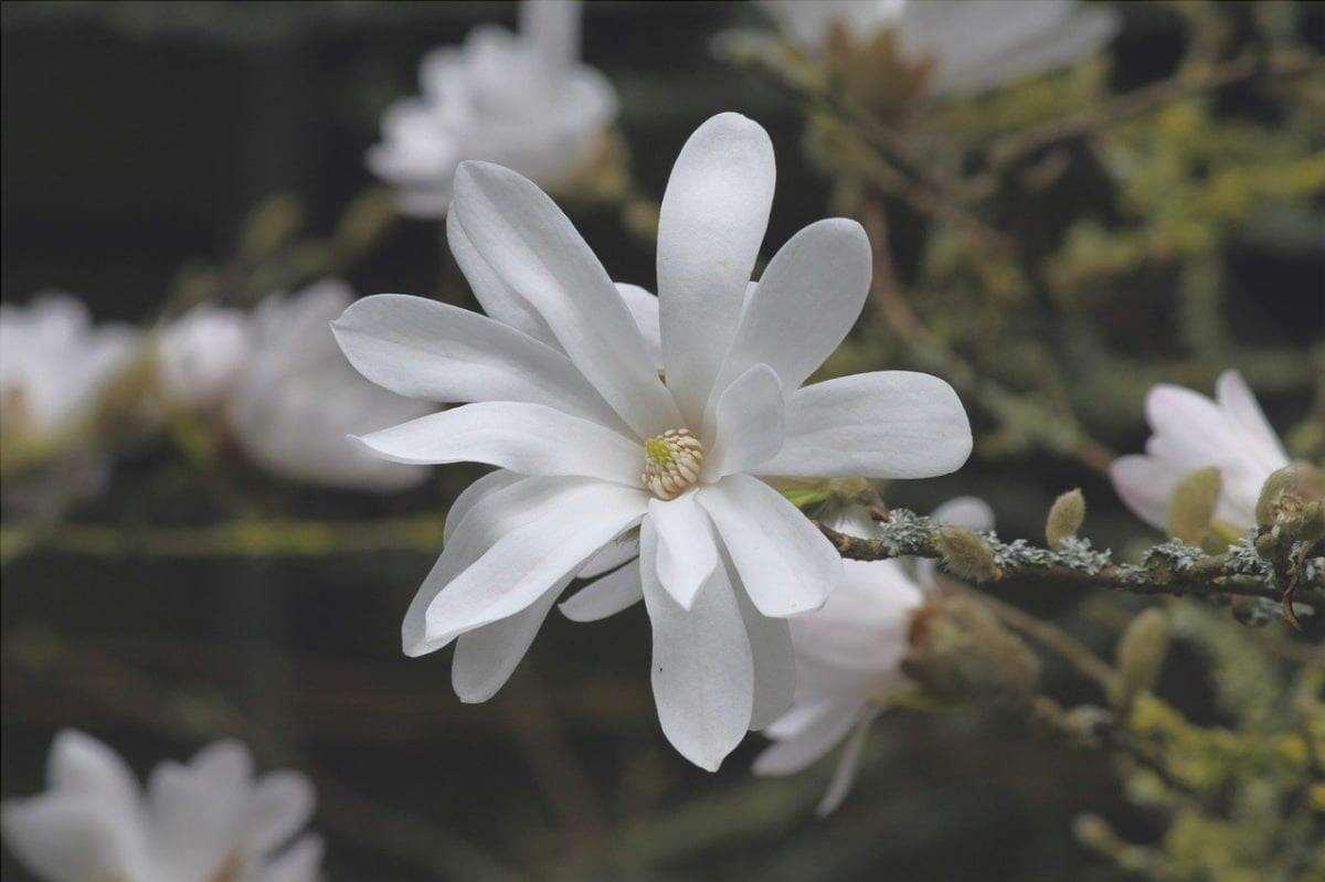La Magnolia stellata è un tipo di magnolia con fiori bianchi.