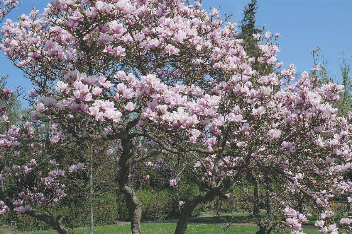 La magnolia è un tipo di grande albero.
