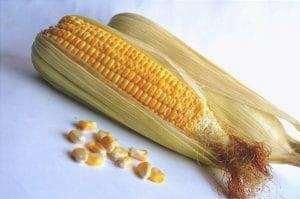 Il mais è una coltura piovosa