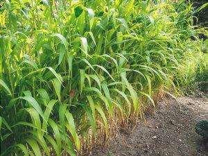 Il mais è un'erba ampiamente coltivata