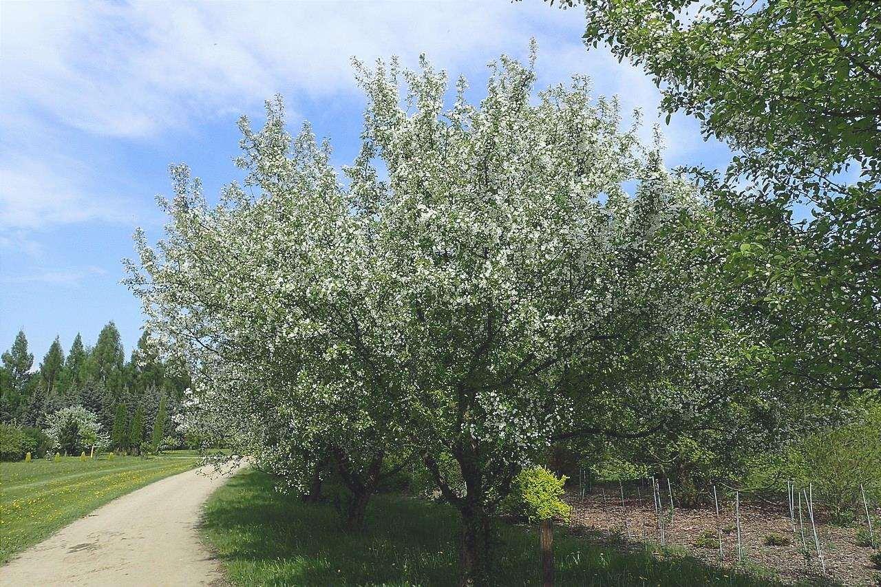 Malus floribunda è un albero deciduo.