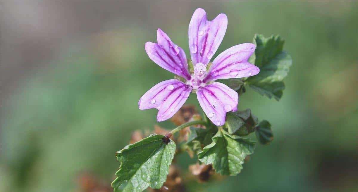 La malva comune è una pianta con fiori rosa.