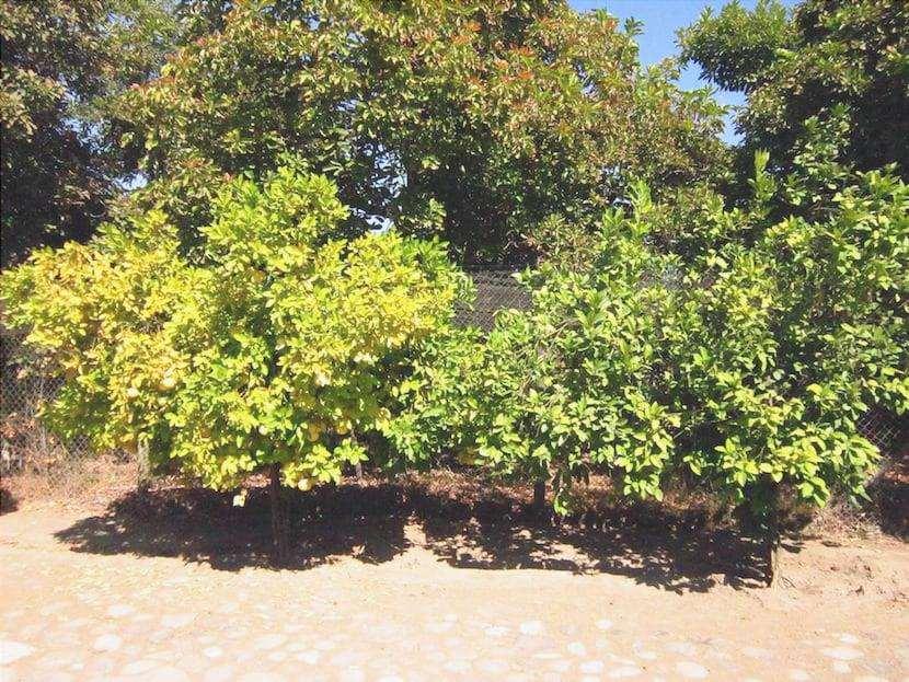albero di mandarino con foglie gialle