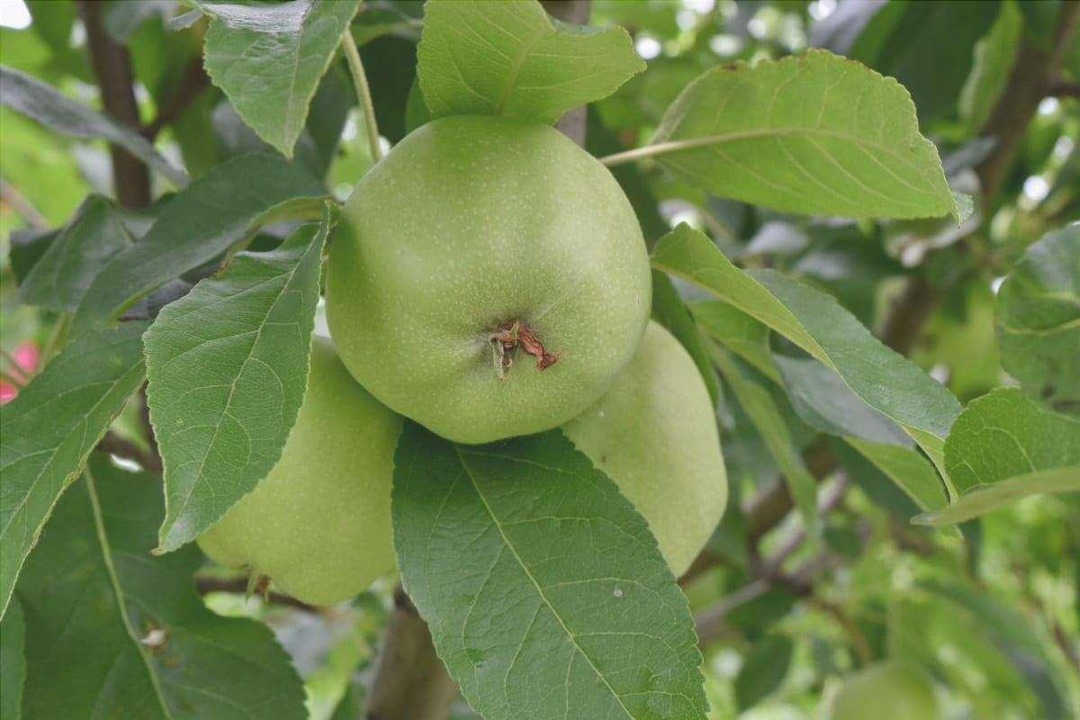 Il melo viene concimato in primavera e in estate.