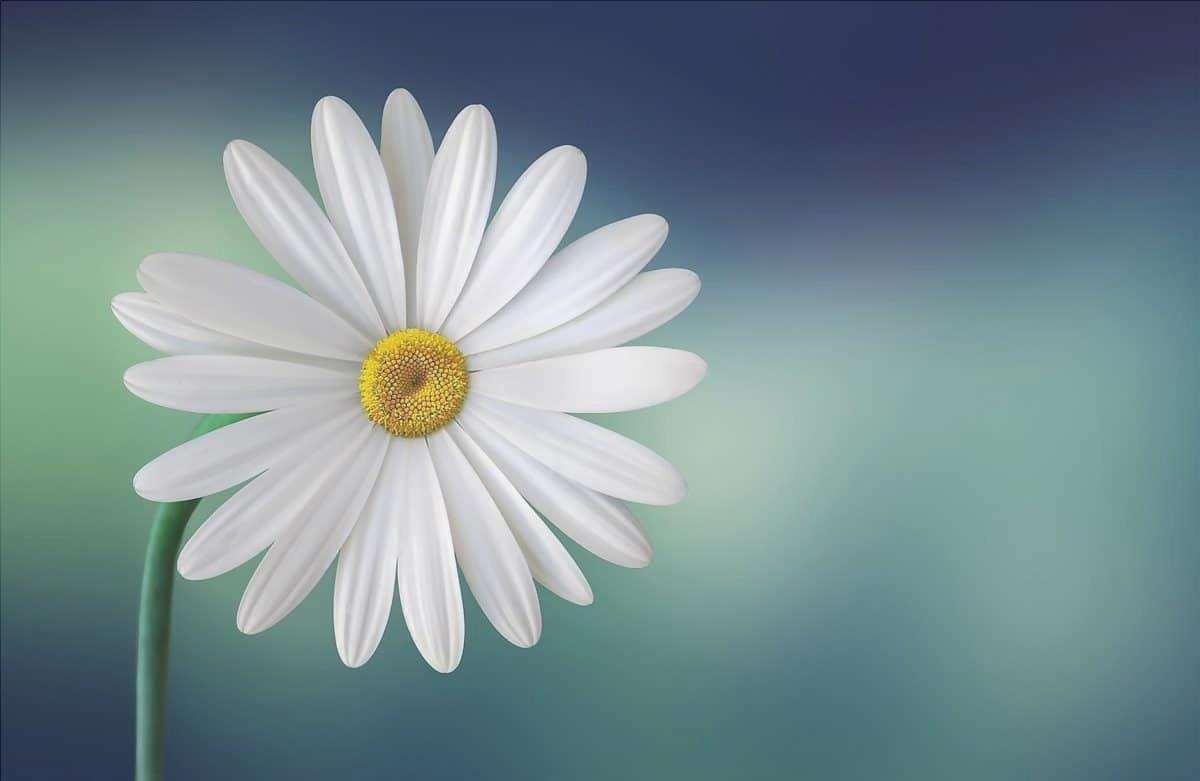 Le margherite sono fiori bianchi molto duraturi.