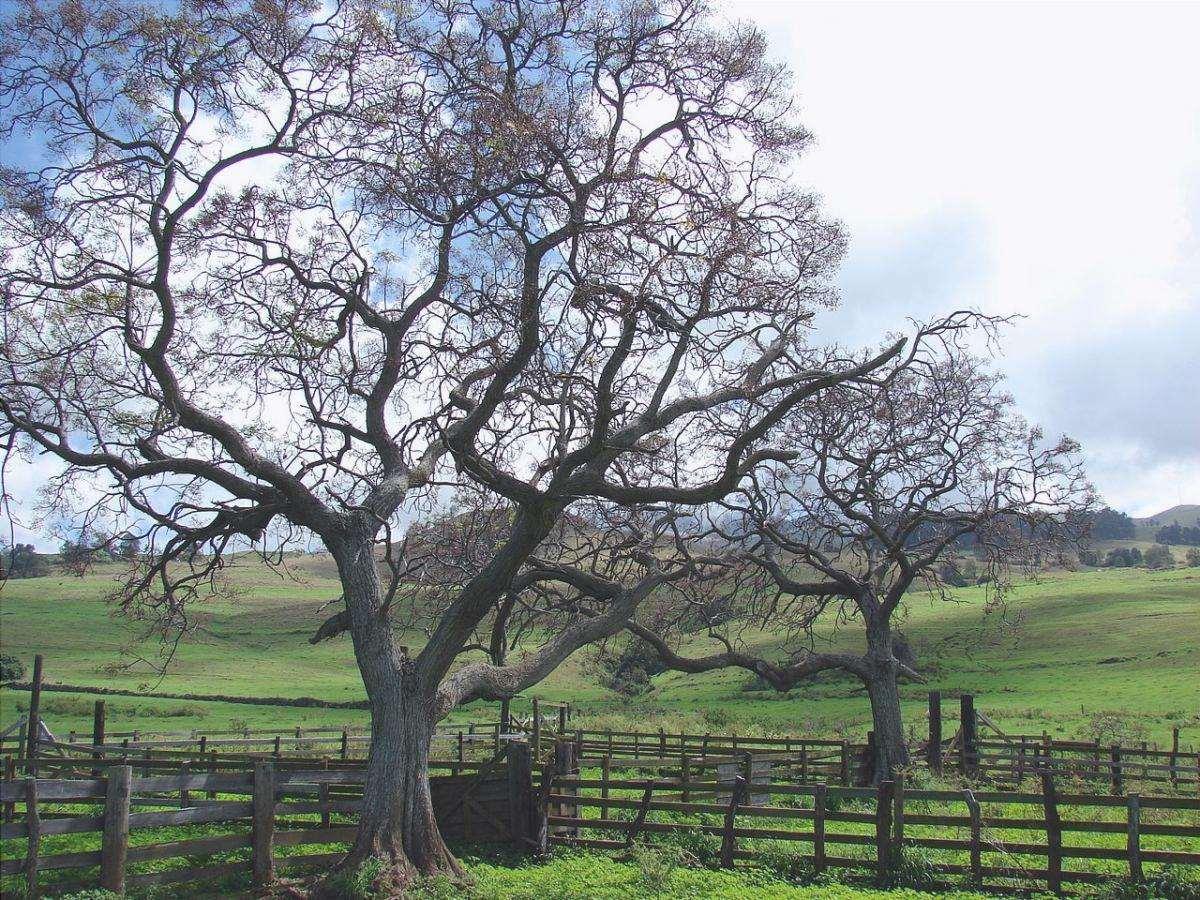 Melia è un albero con radici invasive.
