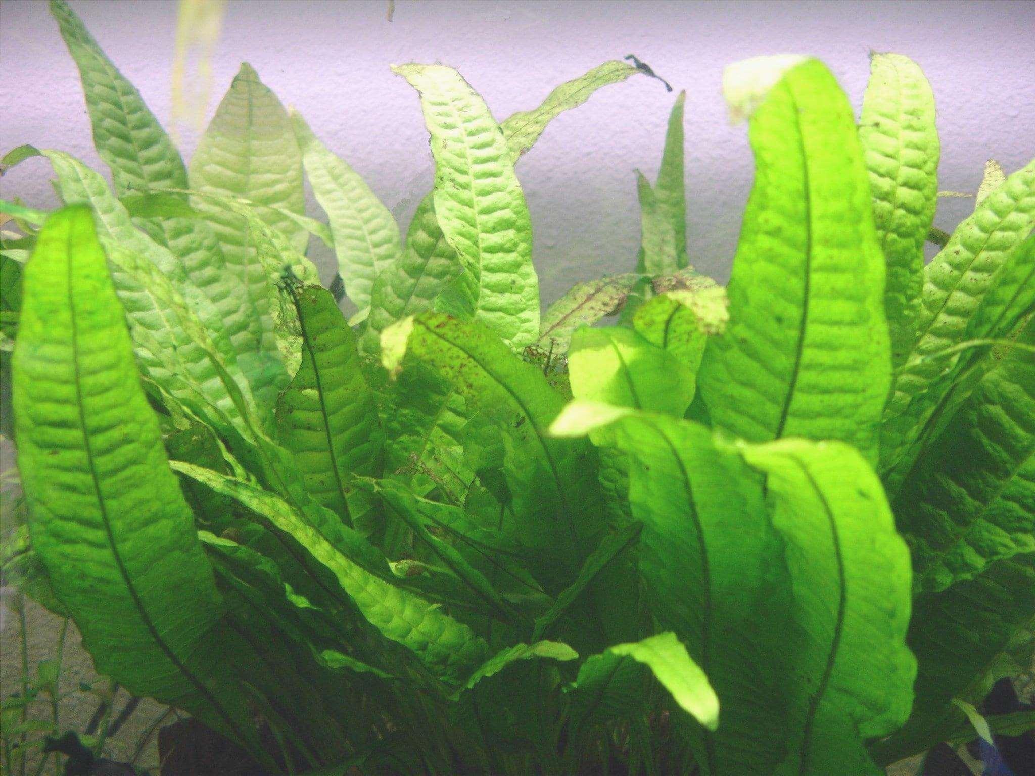 Microsorium pteropus è il nome scientifico della felce di Java.