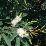 mimosa tenuiflora flores