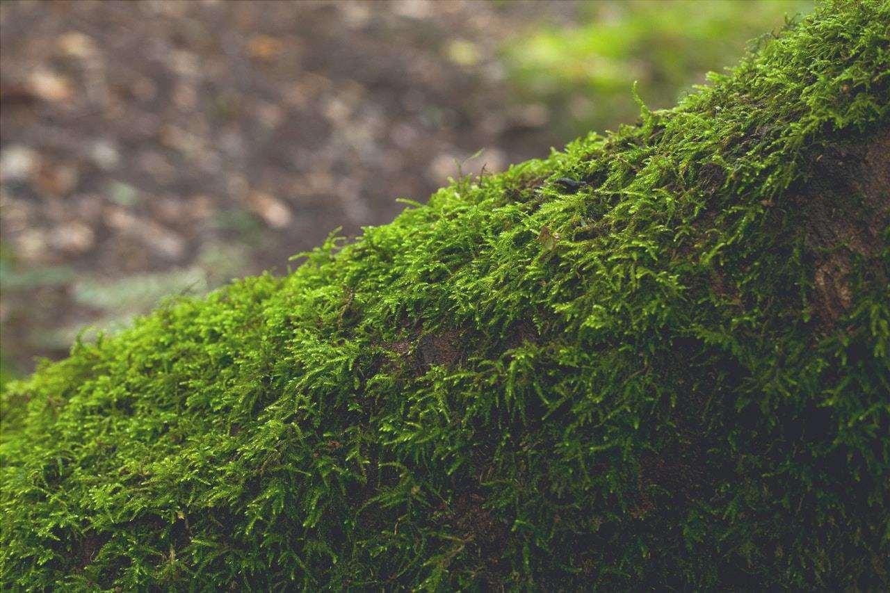 Il muschio è una pianta non vascolare