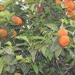 Gli aranci possono avere fisiopatie