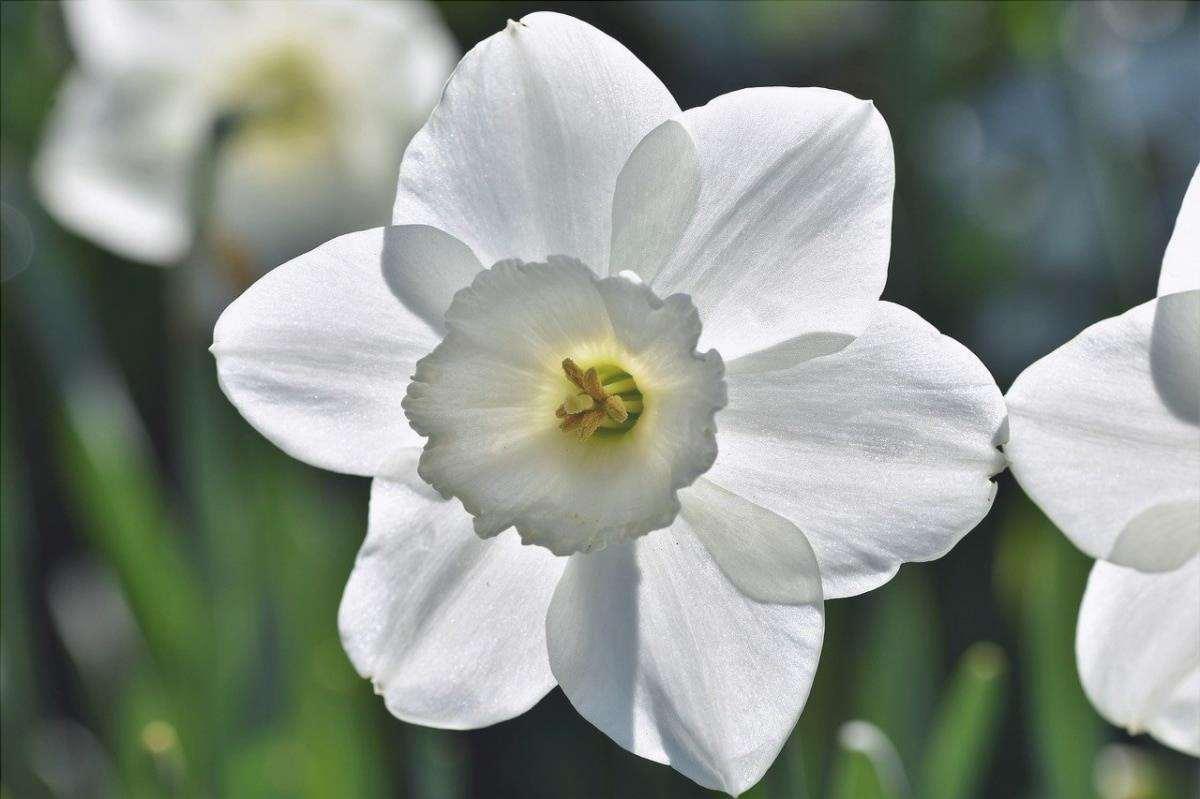 I narcisi sono piante bulbose che fioriscono a fine inverno.