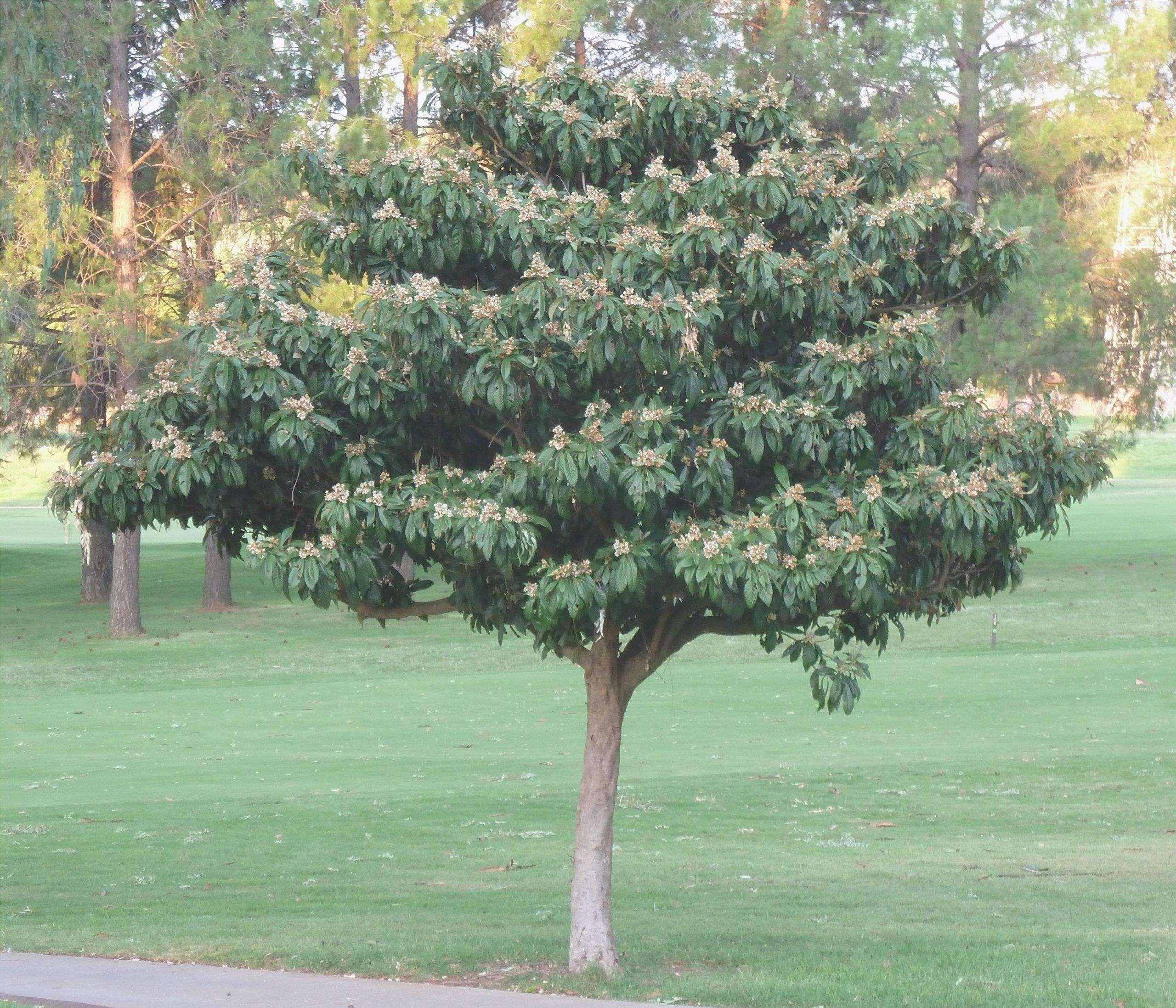 Le nespole sono alberi da frutto