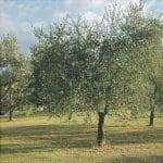 L'olivo è un albero sempreverde.