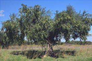 Gli olivi vivono per millenni