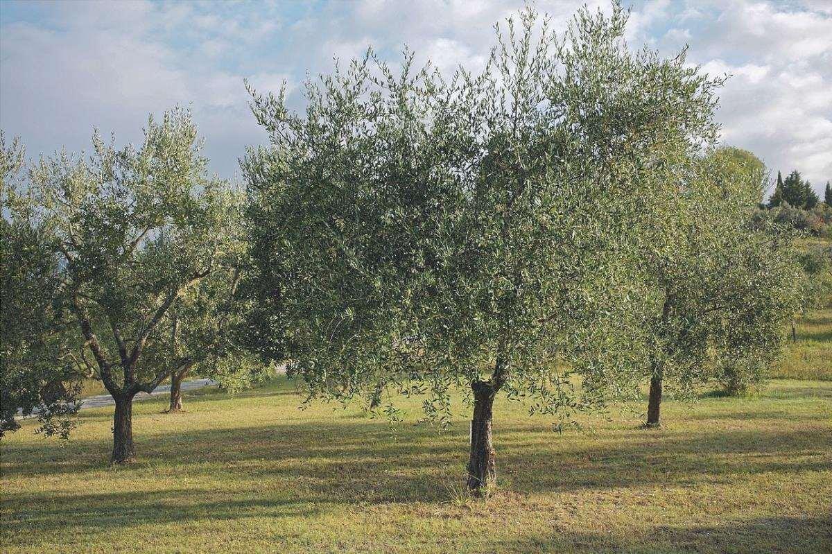L'olivo è un albero perenne