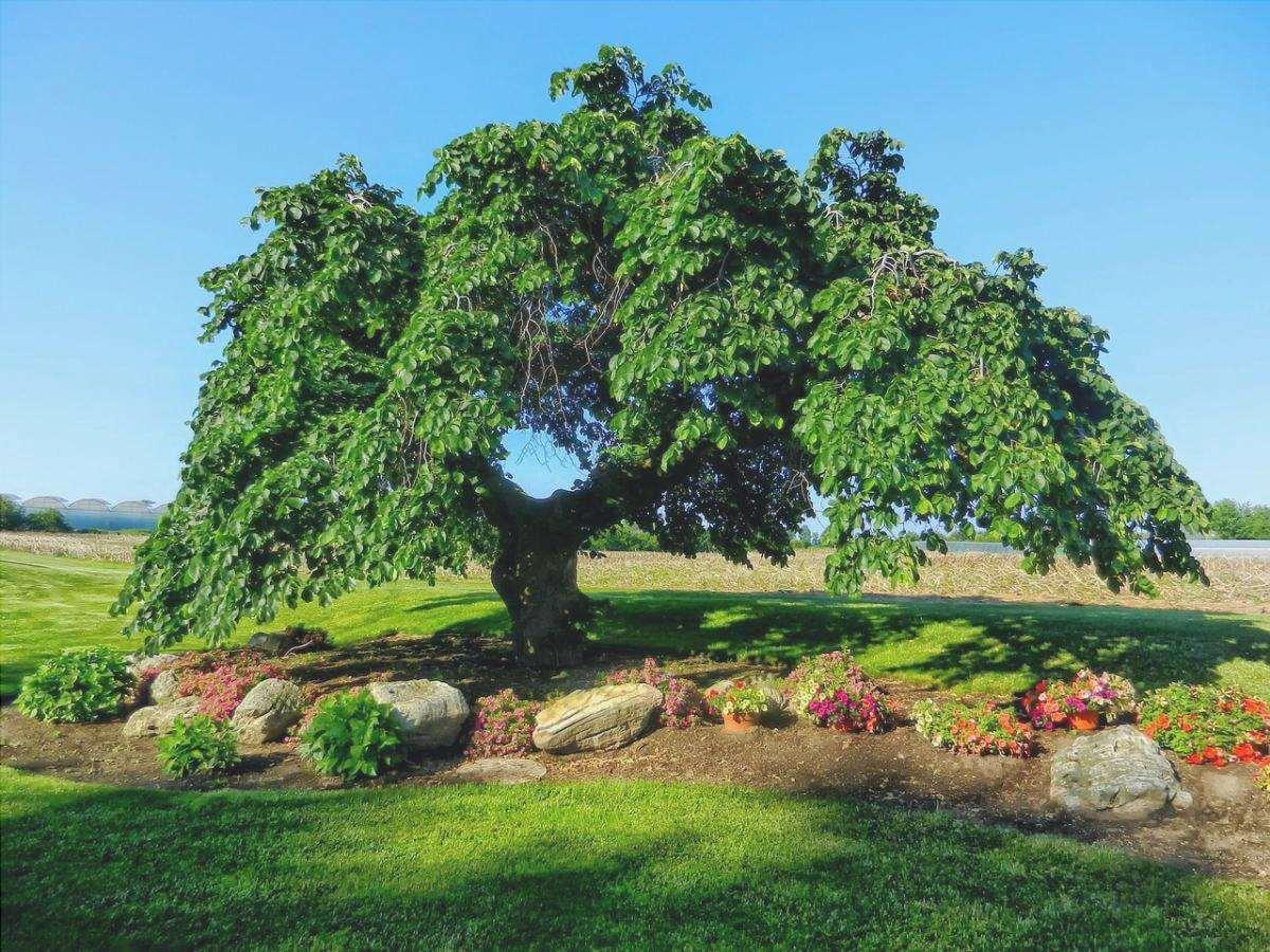 Gli olmi sono alberi che producono camaras