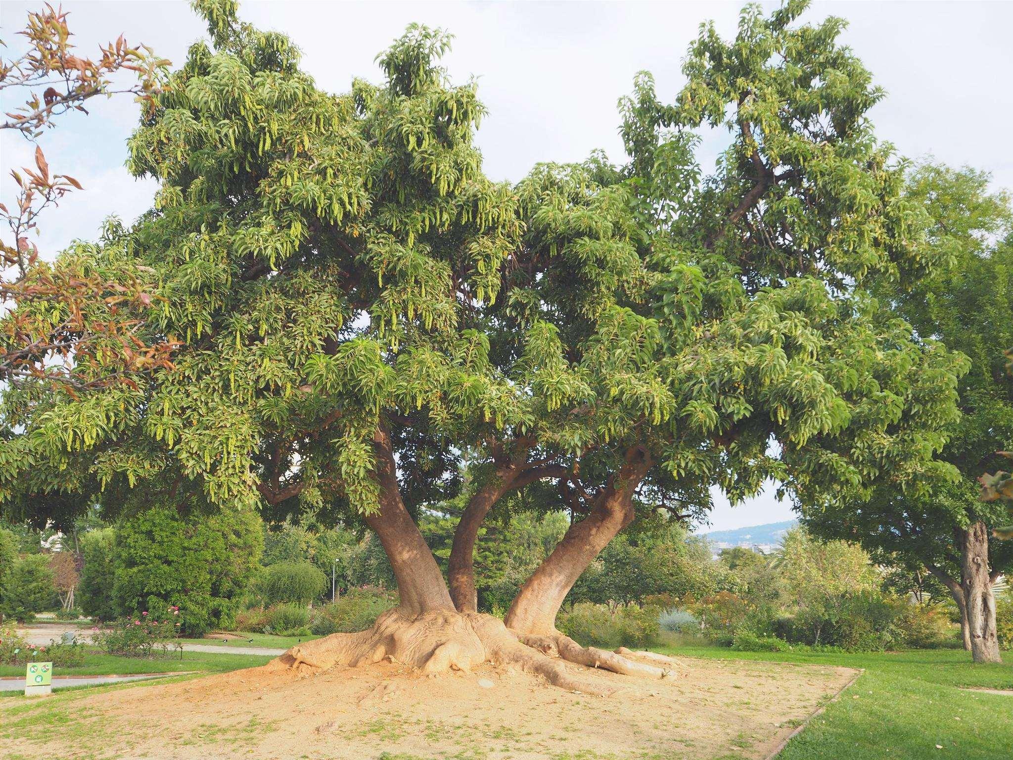 L'ombú è una pianta erbacea.