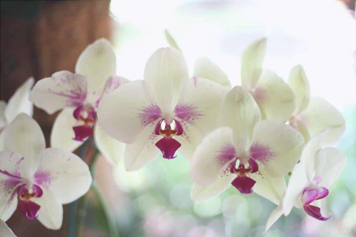 I fiori delle orchidee possono durare alcune settimane.