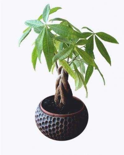 Il Pachira è un albero tropicale