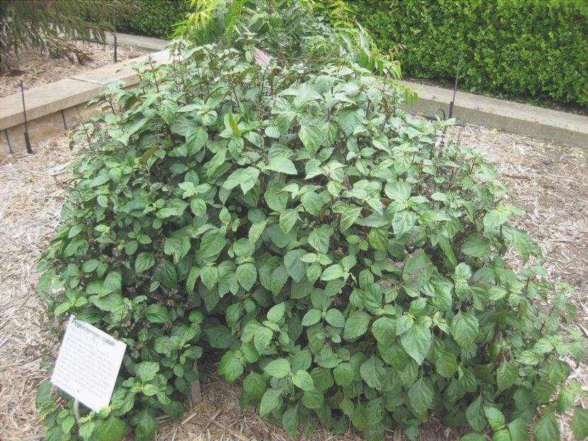 Vista del patchouli in un giardino