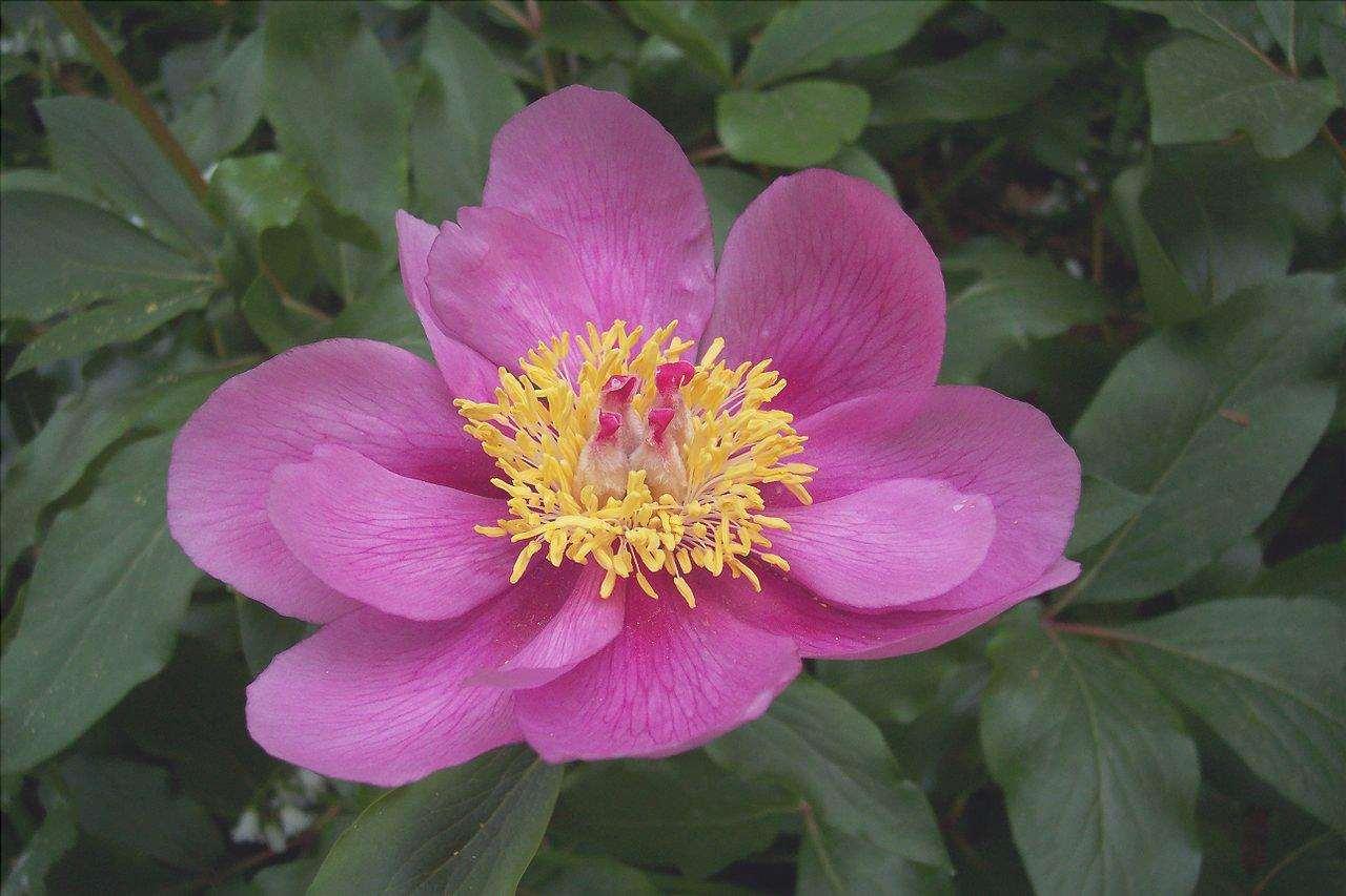Paeonia broteri è una pianta a fiore rosa.